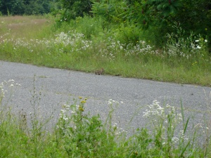 I saw this bunny 1 km south of the Pottery Road crossing.